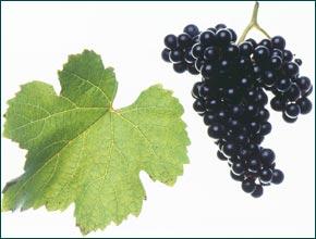 Blauer Wildacher Grapes